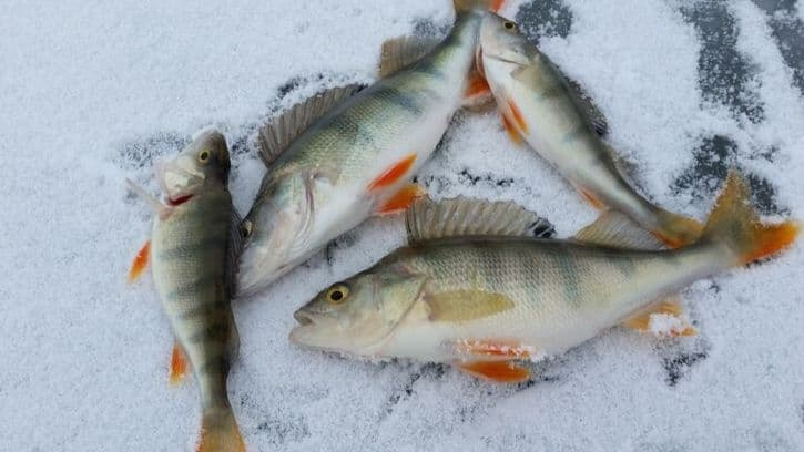 Best Time Of Day To Ice Fish For Perch