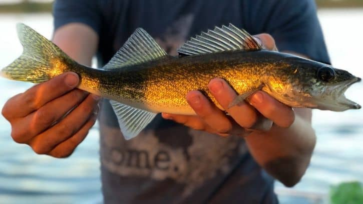 How To Catch Walleye From The Bank