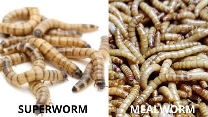 mealworm vs superworm